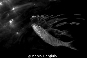 Mugil cephalus reflection by Marco Gargiulo 